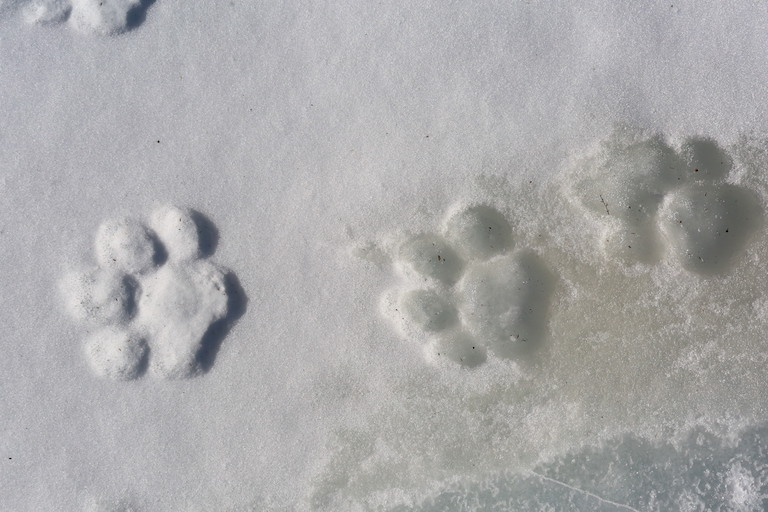 Footprints of a wild Amur tiger in the forest in Hunchun. Photo courtesy of Global Protected Area Friendly System