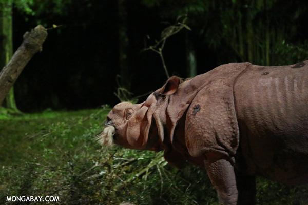 Greater one-horned rhinoceros. Photo by Rhett Butler.
