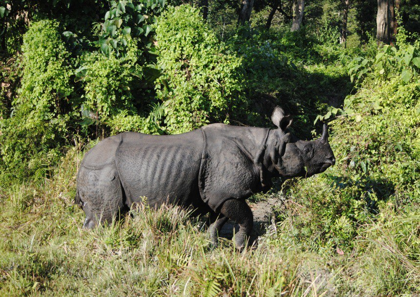 Greater one-horned rhinos are found in three Indian states - Assam, West Bengal, Uttar Pradesh. Photo by Shreya Dasgupta.