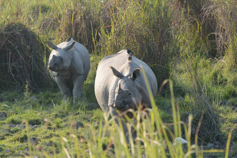 Greater one-horned rhinos in Kaziranga National Park. Photo by Udayan Dasgupta.