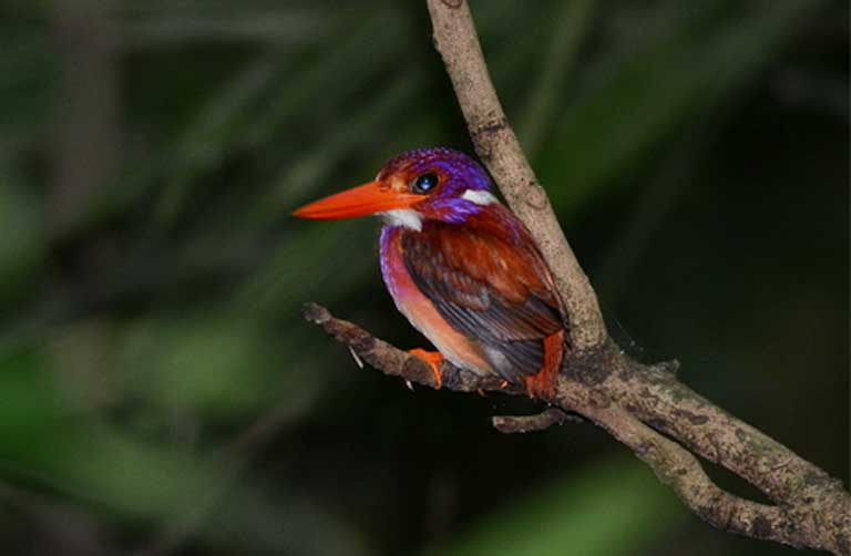 A Philippine Dwarf-kingfisher, another species endemic to the forests of the Philippines, also threatened by habitat loss. Photo © Bram Demeulemeester