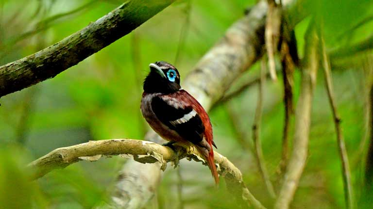 The Visayan broadbill is an endemic species, and like 40 percent of birds in the Philippines, it is found nowhere else on earth. Photo © Bram Demeulemeester