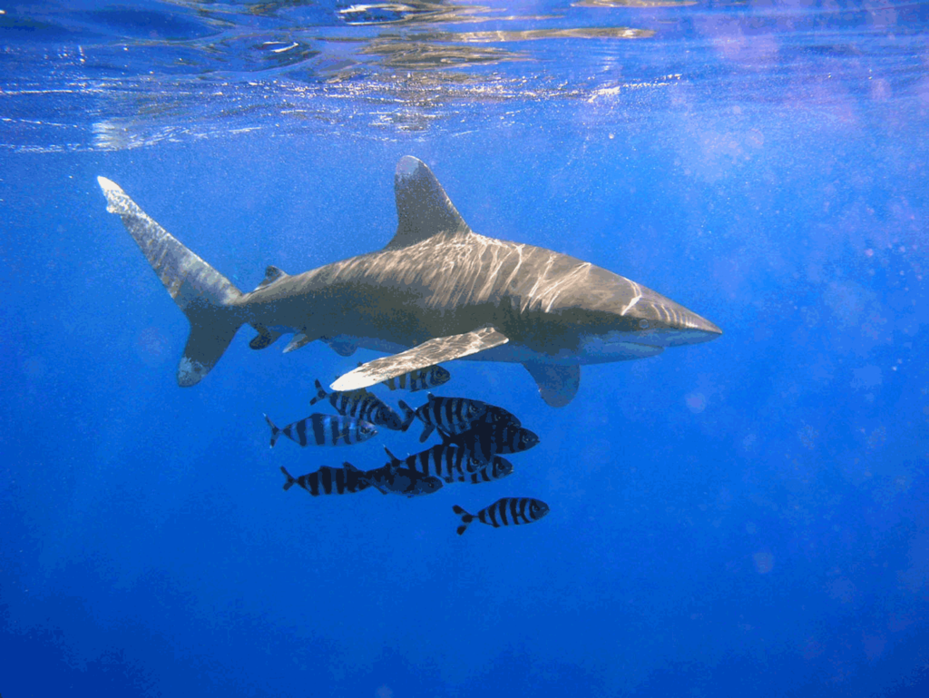 "The campaign aims to ""halt the global overexploitation of sharks and rays, prevent species extinction, and restore shark and ray populations worldwide."" Photo by Thomas Ehrensperger, licensed under CC BY-SA 3.0."