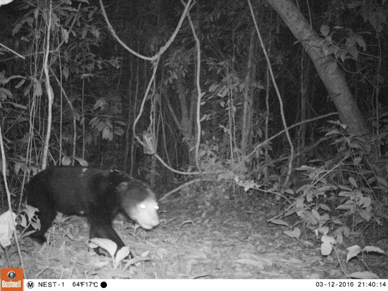 Camera trap photo of a globally threatened Sun Bear. Photo Credit: Creative Conservation Alliance