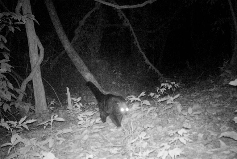 Camera trap photo of globally threatened Binturong. Photo Credit: Creative Conservation Alliance