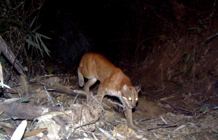 Camera trap photo of Asiatic Golden Cat. Photo Credit: Creative Conservation Alliance