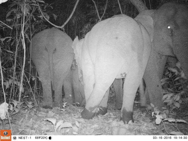 Camera trap photo of Asian Elephants. Photo Credit: Creative Conservation Alliance