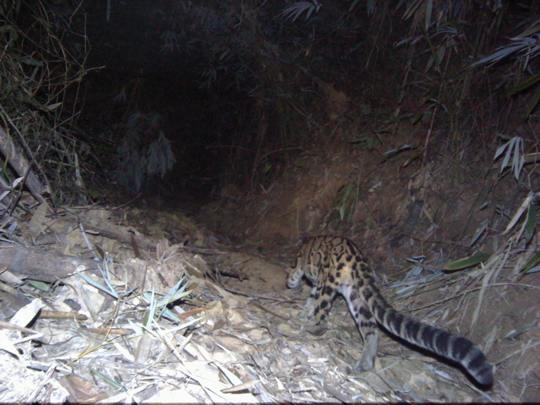 Camera trap photo of Clouded Leopard. Photo Credit: Creative Conservation Alliance