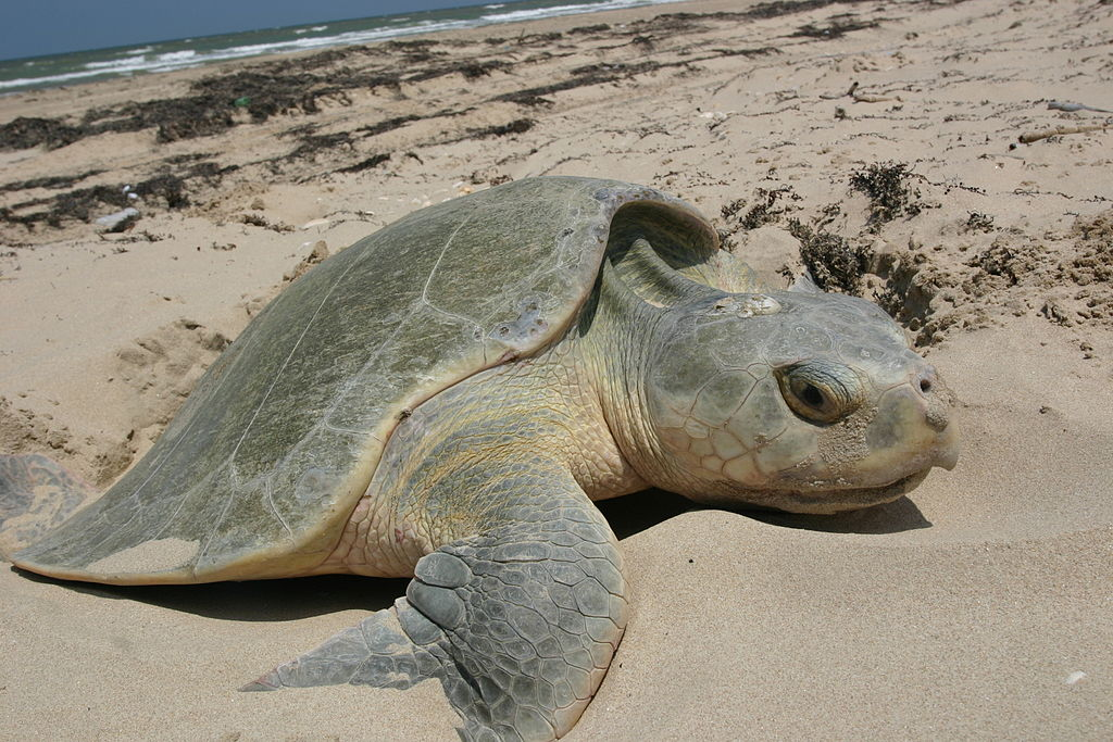 The newly designated marine national monument off New England is home to the critically endangered Kemp's ridley sea turtle. Photo by National Park Service - https://www.nps.gov/pais/naturescience/Nesting-Kemps-ridley-Sea-Turtles.htm. Public Domain.