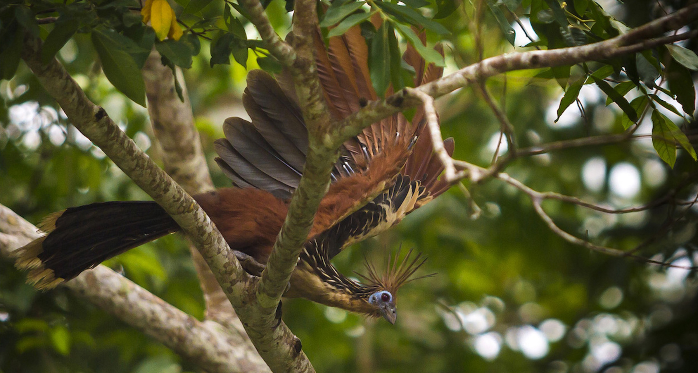hoatzin-in-colombia-sierra-de-la-macarena-natural-national-park