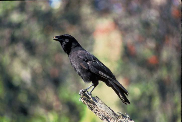 Hawaiian Crow (Corvus hawaiiensis).