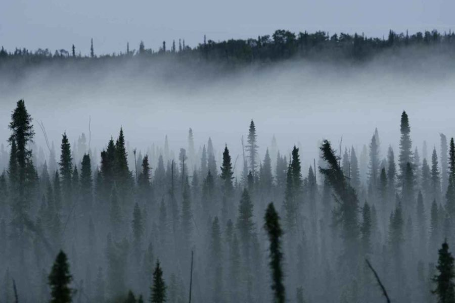 Mist rises from a black spruce forest.
