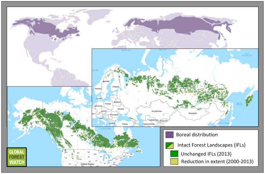 Intact Forest Landscapes (IFLs) are areas of primary forest large and undisturbed enough to retain their original levels of biodiversity. Of the boreal's full extent, IFL degradation and disappearance from human activities like timber harvesting have led to fragmentation of this biome.