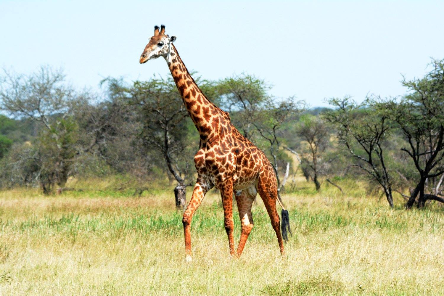 A new study has found that there may be four distinct species of giraffes that do not interbreed in the wild. Photo by Udayan Dasgupta.