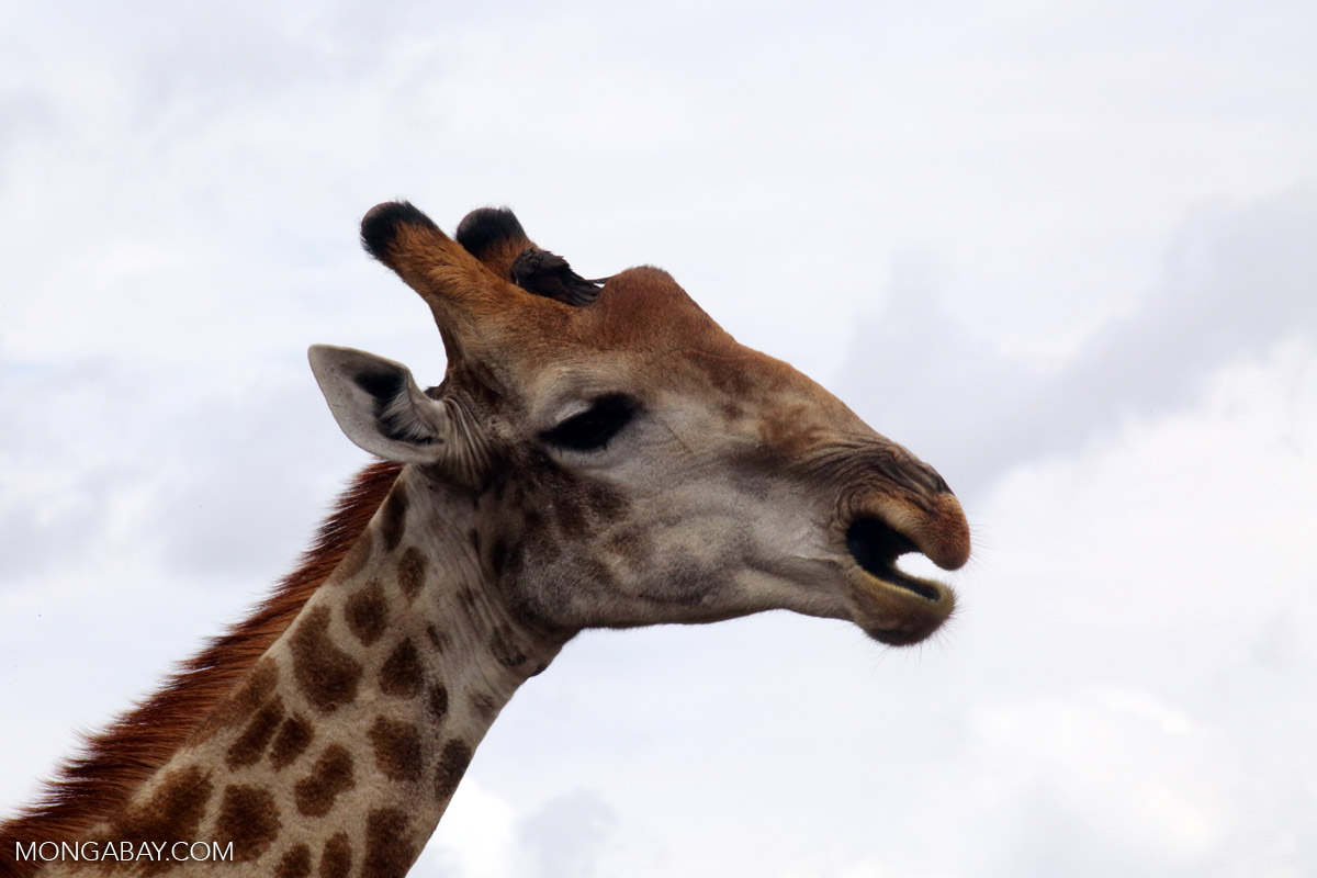 Some giraffe species have fewer than 10,000 individuals. Photo by Rhett Butler.