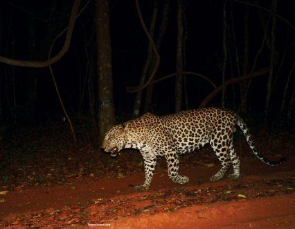 male-leopard-wilpattu-np