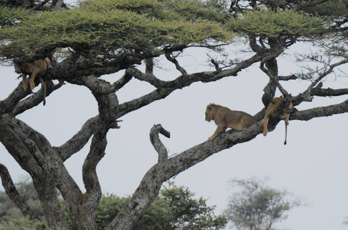 When shown a picture of lions on a tree, people would be more likely to point out the lions, and ignore the tree. Photo by Udayan Dasgupta.
