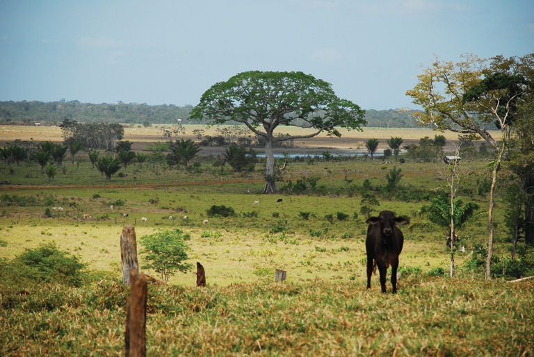 In South America, forests are often cleared and the land ultimately used for pastureland. Credit: CIFOR/Creative Commons (Flickr)
