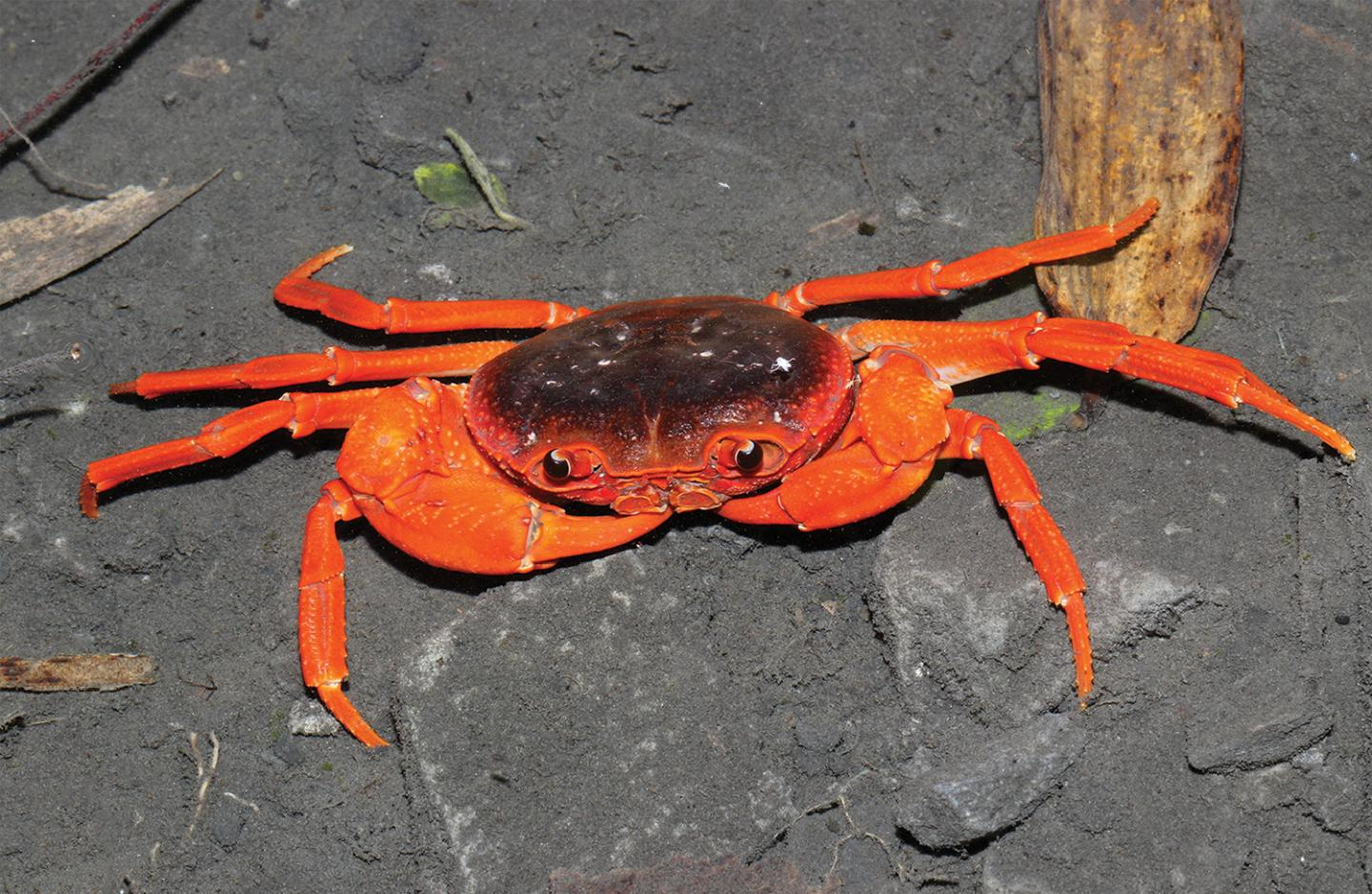 New crab species discovered in Chinese fish market