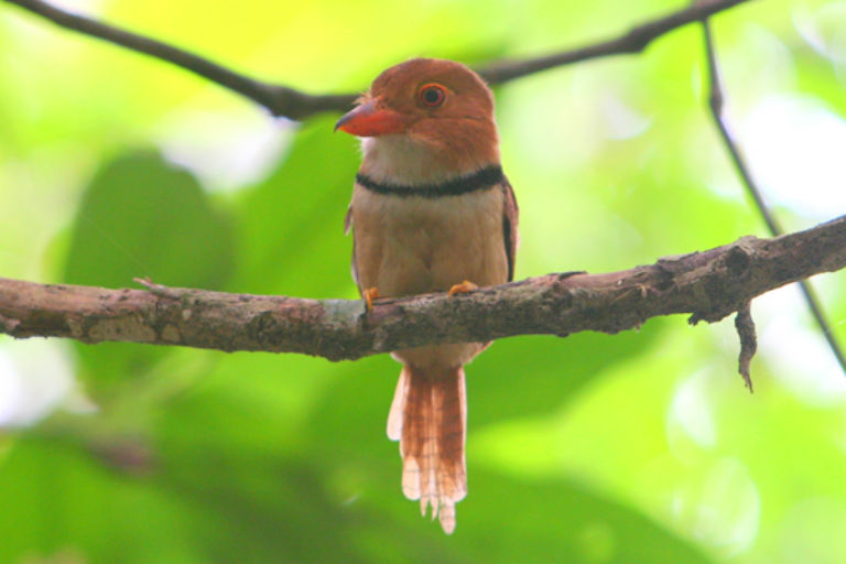 Collared puffbird (Bucco capensis) in Yasuni National Park in the Ecuadorian Amazon. Photo by Jeremy Hance