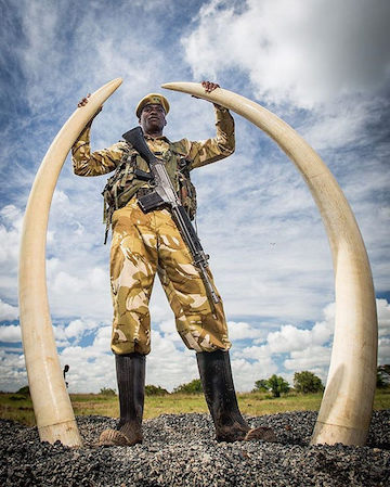 A Kenyan ranger stands with two elephant tusks among 105 tons of poached ivory that was set ablaze in April. Photo by Mwangi Kirubi via Flickr (CC BY-NC 2.0)