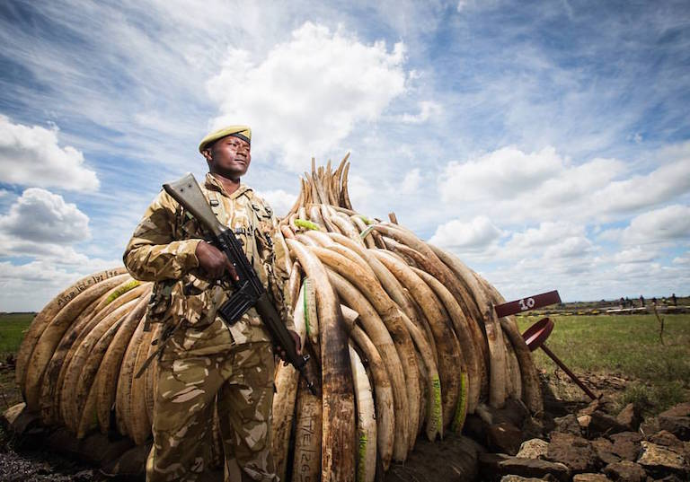 A Kenyan ranger guards poached elephant tusks in preparation for the destruction of 105 tons of ivory and a ton of rhino horn in April. Photo by Mwangi Kirubi via Flickr (CC BY-NC 2.0)