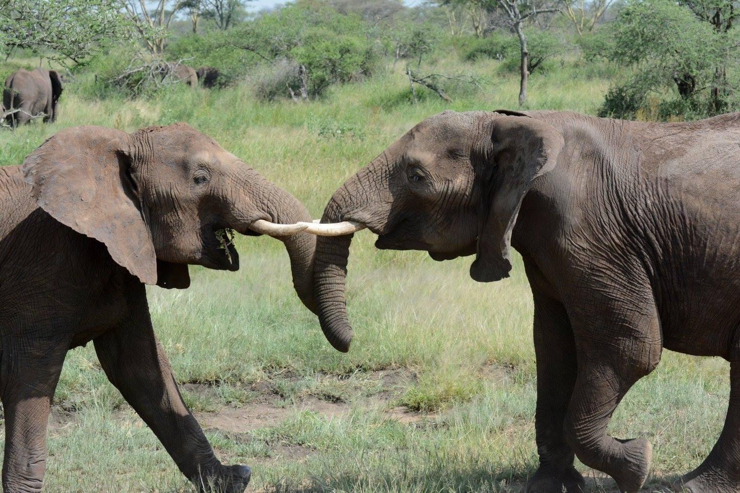 Tanzania is a hotspot of elephant poaching. Photo by Udayan Dasgupta.