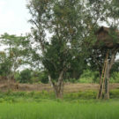 A tree house built in Taik Kyi village in Myanmar to for safety from roaming elephants. Courtesy of David Doyle