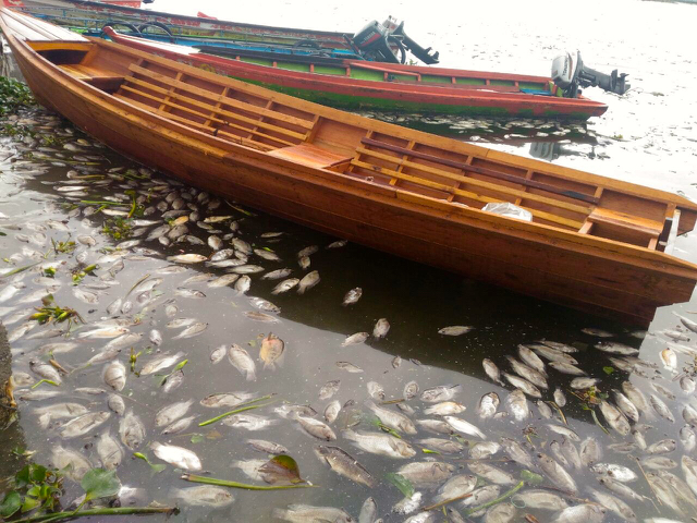 Dead fish in Lake Maninjau. Photo by Viniola