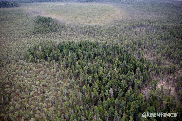 Aerial image of Siberian taiga, also known as boreal forest, near Surgur. © Denis Sinyakov / Greenpeace