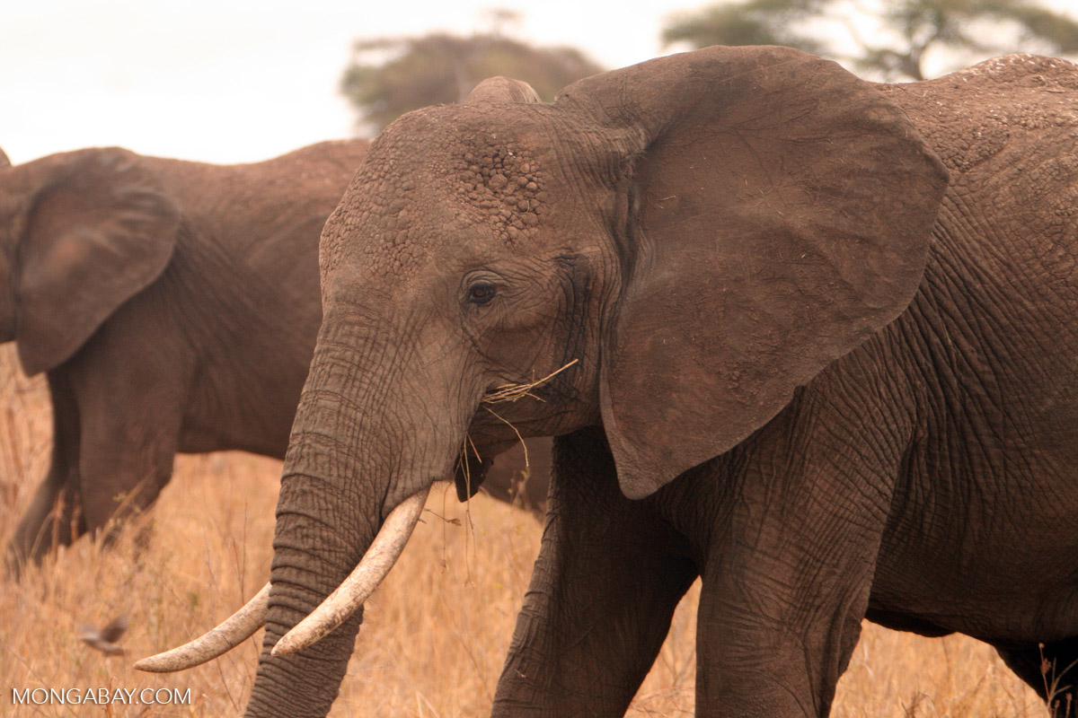 Most ivory seizures originated from Kenya, Tanzania and Uganda, the team found, which are the three most important exit points in Africa for illegal trade in elephant ivory. Photo by Rhett Butler.