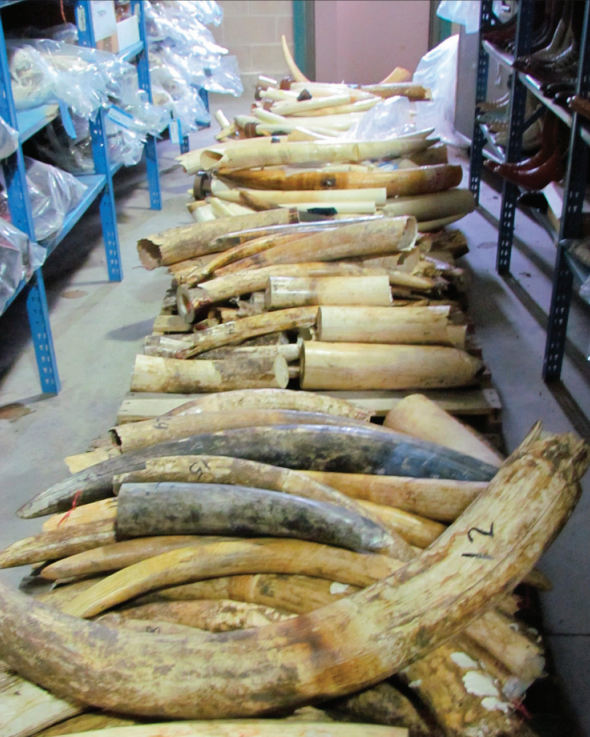 Most of the ivory came from just 26 large-scale seizures, each with more than 500 kilograms of ivory, suggesting that organized crime groups are involved. Photo by US FIsh and Wildlife Service.