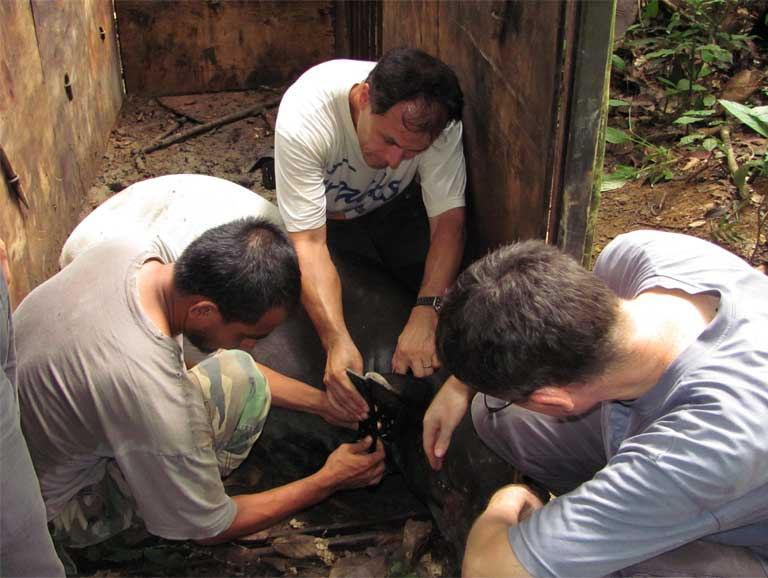The MTCP team attaches a tracking device to a Malayan tapir. Photo courtesy of the Copenhagen Zoo