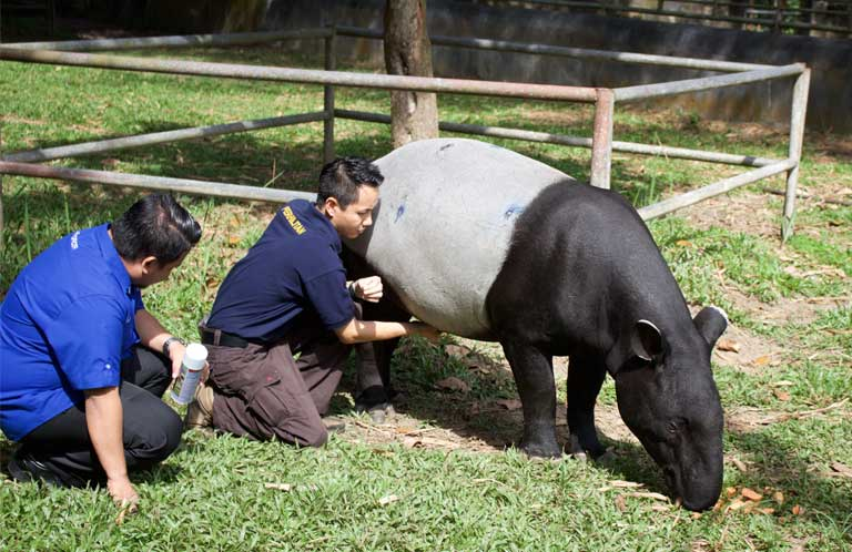 Perhilitan veterinarian Dr. Donny Yawah examines a tapir at Sungai Dusun. Photo by Kate Mayberry