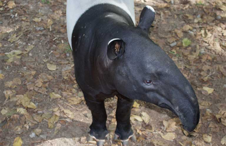 A Malayan tapir at Sungai Dusun, a rehabilitation center in northern Selangor. Photo by Kate Mayberry
