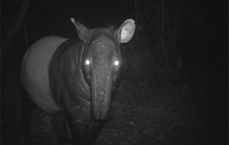 The nocturnal Malayan tapir caught wide-eyed on camera. Photo courtesy of the Copenhagen Zoo