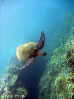 Pacific green sea turtle. Photo by Rhett Butler.
