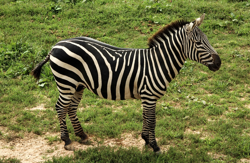 The plain's zebra has now moved from Least Concern to Near Threatened on the IUCN Red List. Photo by JamesDeMers, Pixabay, public domain.