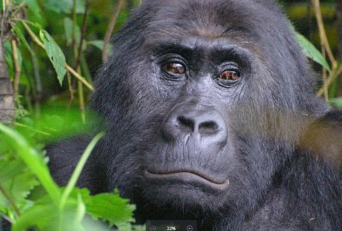 The gorilla subspecies, found only in eastern Democratic Republic of Congo (DRC), has been up-listed to Critically Endangered on the IUCN Red List of Threatened Species. Photo courtesy of AJ Plumptre/WCS.