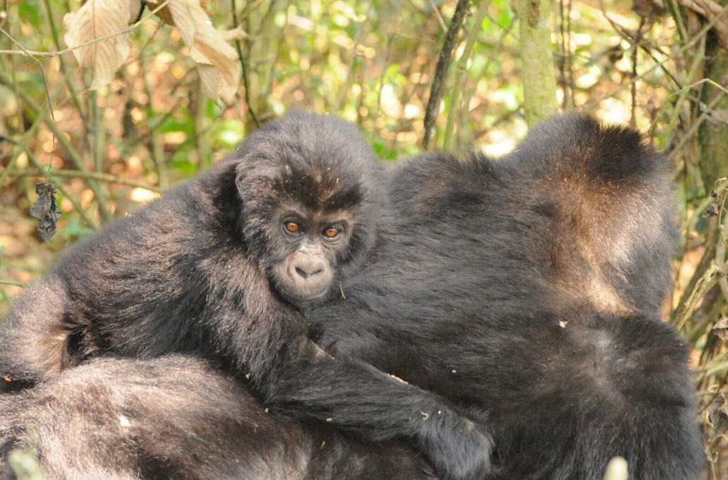 Fewer than 4,000 Grauer's gorillas remain in the wild today. Photo courtesy of WCS.