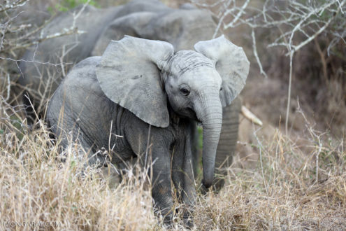 African elephant in South Africa. Photo by Rhett Butler.