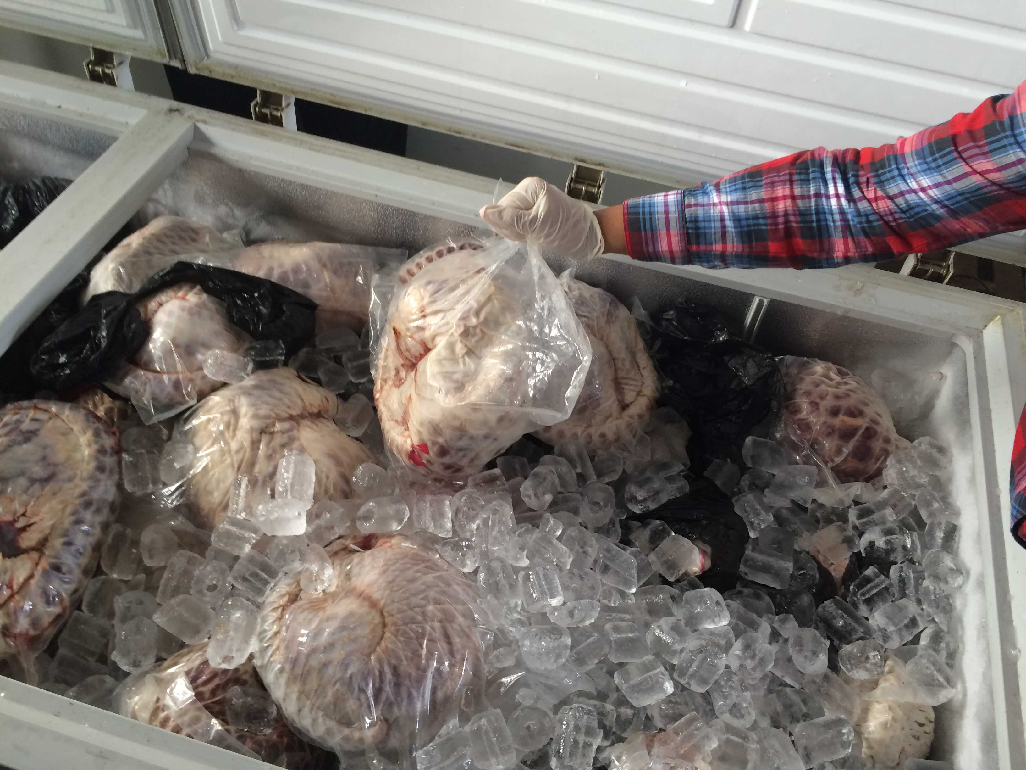 Indonesian authorities have seized 657 pangolins stored in five large freezers, and arrested a 55-year-old man who has been named a suspect. Photo courtesy of Wildlife Conservation Society (WCS).