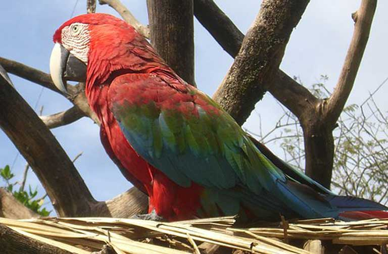A Red-and-green Macaw, one of the many species of wildlife living within the proposed Orinoco Mining Arc. Photo by Diego Delso Wikimedia Commons, License CC-BY-SA 3.0