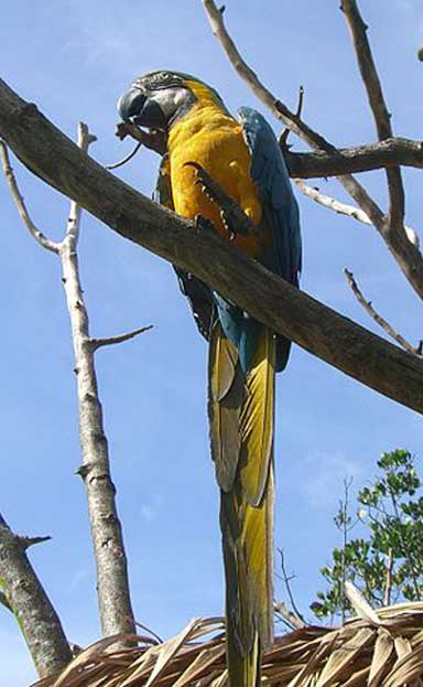 A Blue-and-gold macaw in Canaima National Park. Photo by Diego Delso Wikimedia Commons, License CC-BY-SA 3.0
