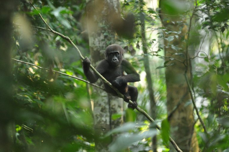 The recent spate of mining permits for concessions that overlap with protected area boundaries has some experts questioning the Republic of Congo's commitment to conservation. Photo courtesy of Expert Africa