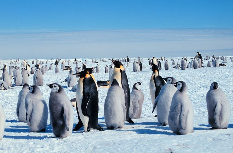 Ross Sea is home to more than a quarter of the world's Emperor penguins. Photo by Michael Van Woert, NOAA NESDIS, ORA. Public Domain.
