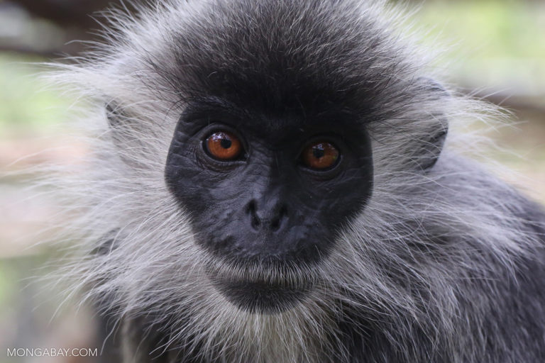 Germain's Silver Langur. Photo by Rhett A. Butler