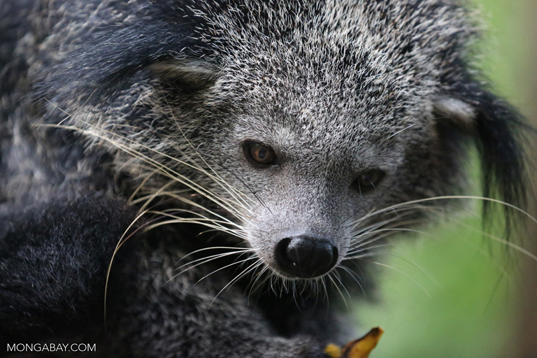 Binturong in the Southern Cardamom Mountains. Photo by Rhett A. Butler
