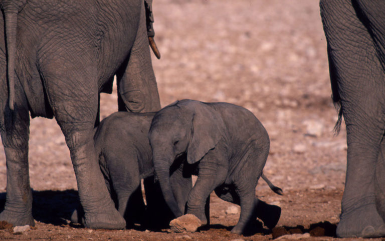 Loxodonta africana African elephant Young calf with mother Sub-Sarahan Africa
