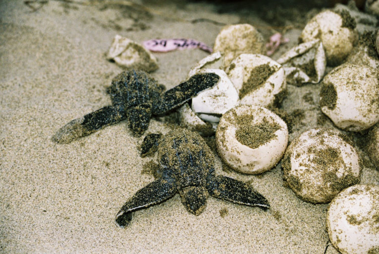Leatherback turtle (Dermochelys coriacea) nest with hatchlings. Chiriqui Beach, Panama.